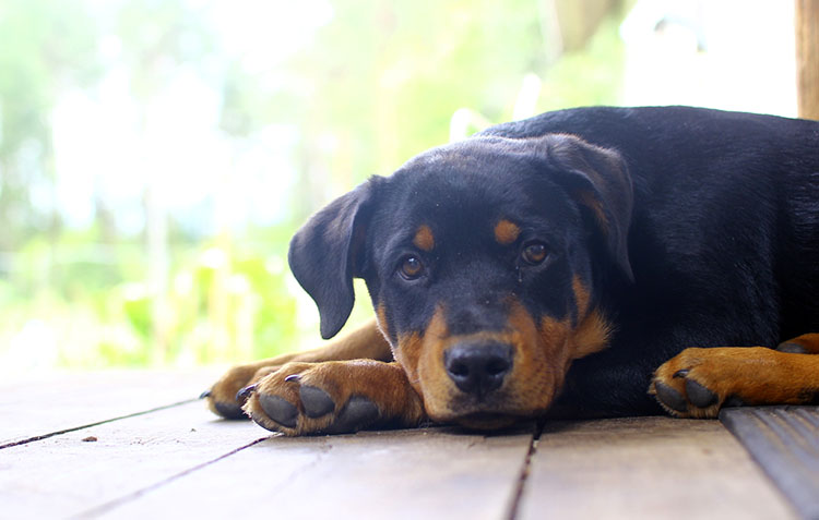 rottweiler-guarding-home